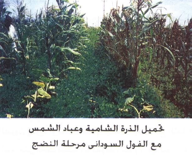 تحميل بعض المحاصيل مع الذرة الشامية Image-06